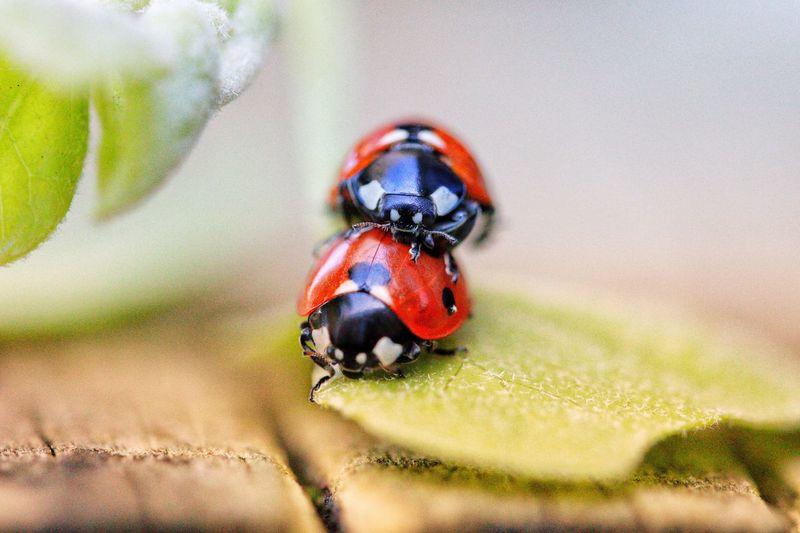 Close-up of ladybugs on leaf