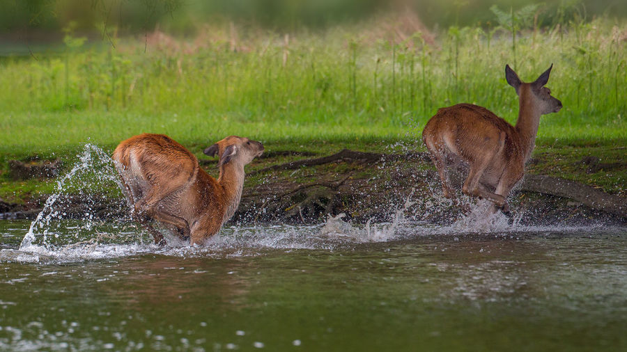 Deer in a lake