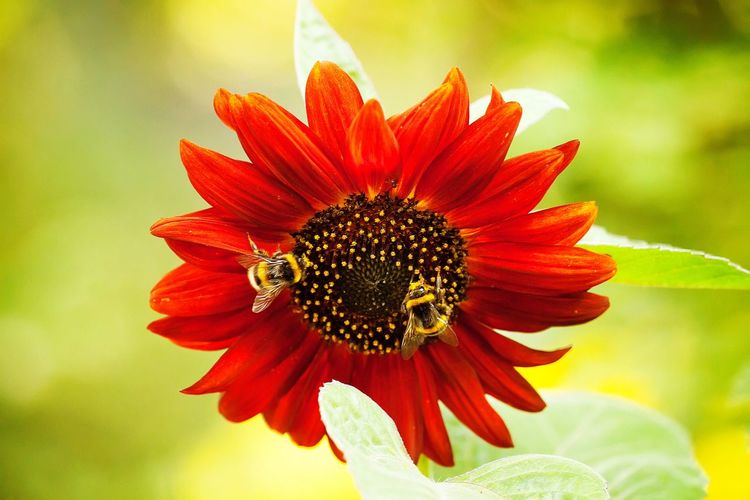 Sunflower Flower Freshness Fragility Petal Animal Themes Flower Head Insect Animals In The Wild One Animal Close-up Wildlife Focus On Foreground Beauty In Nature Growth Single Flower Nature In Bloom Symbiotic Relationship Blossom