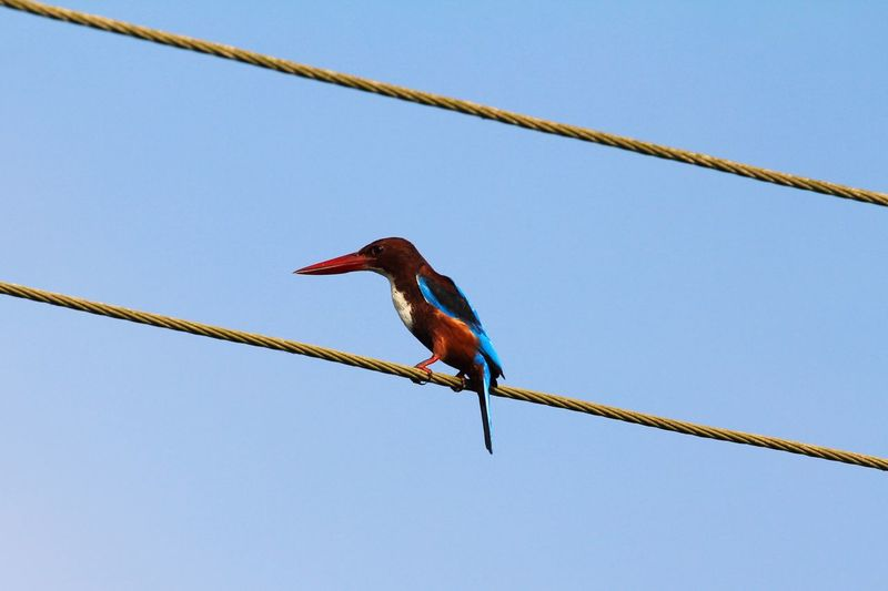 Low Angle View Of Kingfisher Perching On Cable Against Clear Blue Sky