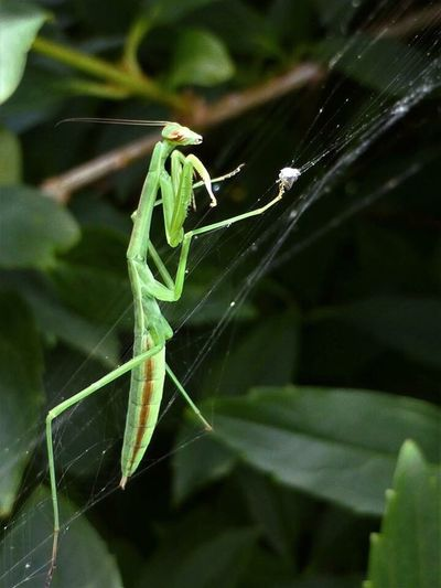 Insect Animals In The Wild Green Color One Animal Animal Themes Close-up Leaf No People Animal Wildlife Focus On Foreground Nature Day Outdoors Plant Praying Mantis Mantis Spider Web Web Trapped