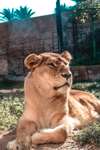 Lioness sitting in zoo