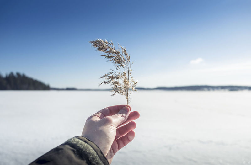 Human hand with hay at bright winter day in southern Finland Adult Beauty In Nature Blue Sky Bright Clear Close-up Cold Day Focus On Foreground Frost Growth Hay Horizon Over Land Human Body Part Human Hand Nature One Person Outdoors People Sky Spring Sunlight Sunshine Vegetation Winter