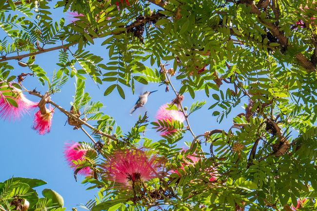 Cuba Havana Beauty In Nature Blooming Branch Close-up Colibrí Day Eucalyptus Flower Fragility Freshness Green Color Growth Humingbird Leaf Low Angle View Nature No People Outdoors Pink Color Plant Sky Tree