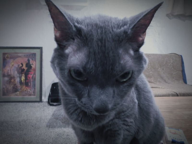 """""""Evil Kitten throwing the stink eye"""" (2014) Cat Photography Cat Eyes My Cat Cat On Table Not Amused Apartment Living..."""