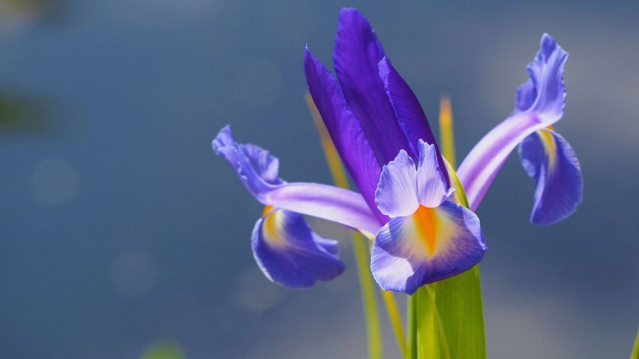 Flowering Plant Flower Beauty In Nature Plant Vulnerability  Fragility Petal Freshness Close-up Purple Blue Growth Inflorescence Flower Head No People Iris - Plant Iris Nature Focus On Foreground Blue Background Day Outdoors
