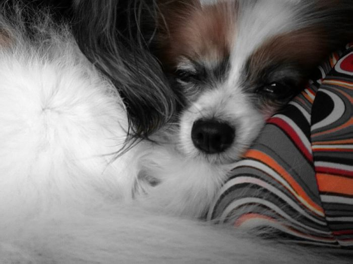 Zzzz... Hanging Out Relaxing Lucy Enjoying Life Dog Lover Papillon Dog