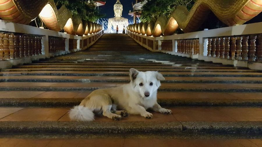 sweet guard of theft temple Wat Phra Yai Temple Sweet Dog Stairs Temple Night Temple Night Dog Buddha Night Temple Nudist Temple Dog Budist Tempel Temple Buddha  Buddha Dog Stairs Temple Dog Temple