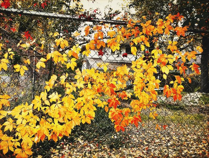 """Gold Fever"" Golden Autumn leaves run a fence like a vein of gold in the Motherlode. Autumn Leaves New Mexico Photography New Mexico Chainlink Fence Fall Leaves Fall Beauty Fall Colors Vines And Leaves Gold Colored Autumn Colors Autumn Gold No People Outdoors"
