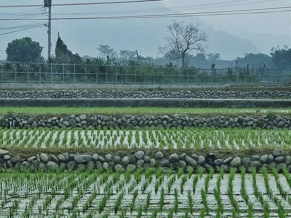 (25)再び田園地域を通過し... Countryside Rice Field No People Relaxing Nostalgia Nostalgic Landscape Street Photography Streetphotography Streetphoto_color Eye4photography  EyeEm Best Shots EyeEm Gallery Showcase April Travel Photography Travel My Favorite Photo The Street Photographer - 2016 EyeEm Awards 2016.04.01at 臺中市后里區泰安村 Taiwan