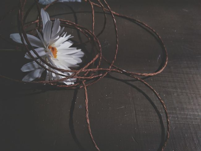 Flower Fragility Close-up Indoors  Flower Head Freshness Day Still Life Close Up Twine Thread