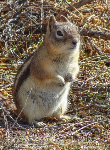 Nov 2014 - Golden-Mantled Ground Squirrel (Callospermophilus lateralis) Dinosaur National Monument Fall Colors Looking At Camera Squirrel Standing Brown Brush Daylight Ground Burrowing Mammal In Nature Portrait
