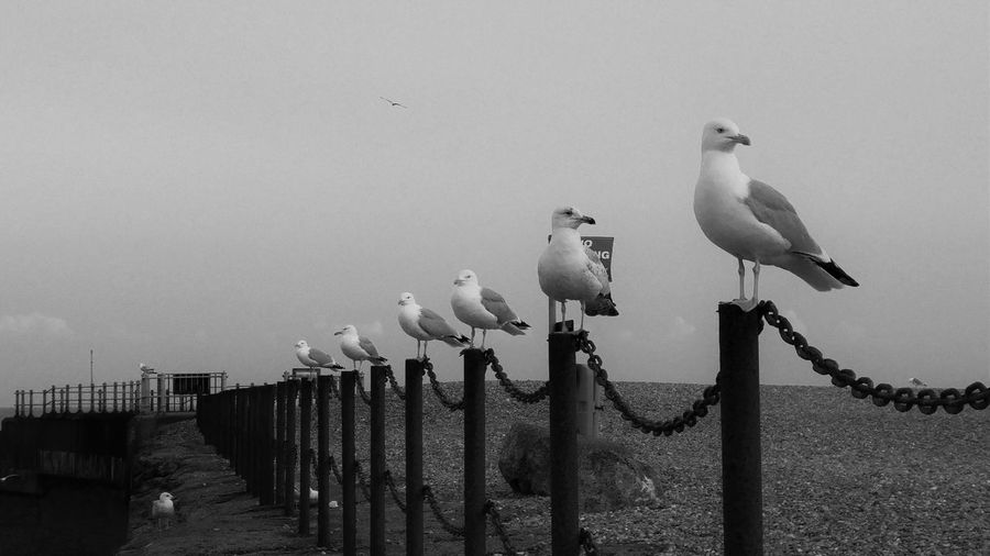 Bird Day In A Row Nature No People Outdoors Perched Perching Pole Seagull Sky Wooden Post