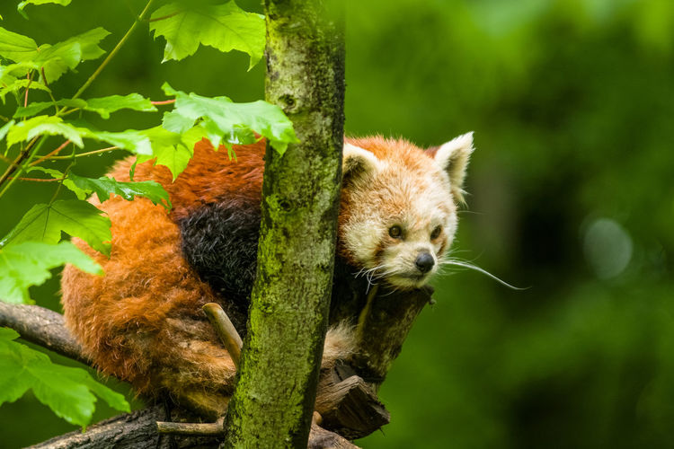 Animal Animal Themes One Animal Animal Wildlife Animals In The Wild Mammal Tree Plant Branch Vertebrate Nature Focus On Foreground No People Day Close-up Green Color Outdoors Leaf Plant Part Red Panda Whisker