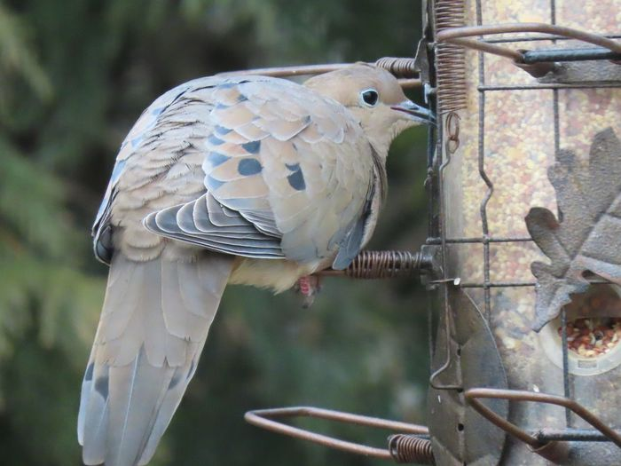 Mourning dove at the feeder Bird Animal Themes Animal Wildlife Close-up No People