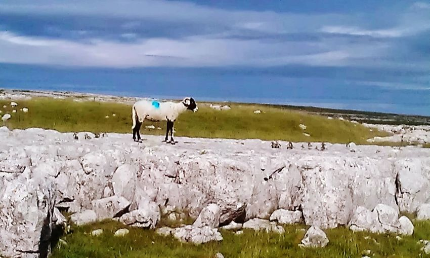 Deceptively Simple Lonely Sheep Malham Tarn