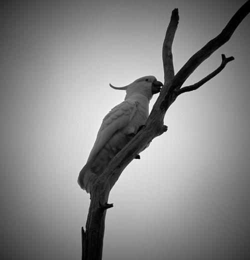 Australian Birds Australian Wildlife Balck & White... Day Low Angle View Nature Nikon No People One Animal Sky Tranquility