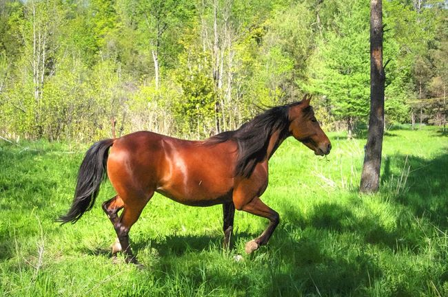 Horse One Animal Animal Themes Domestic Animals Tree Mammal Field Side View Grass Green Color Standing Nature Day Growth No People Outdoors Leisure Activity Horse In Profile Horse In Field Horse In Pasture Horse In Nature Horse In Motion Trotting Horse Theme Horse Trot