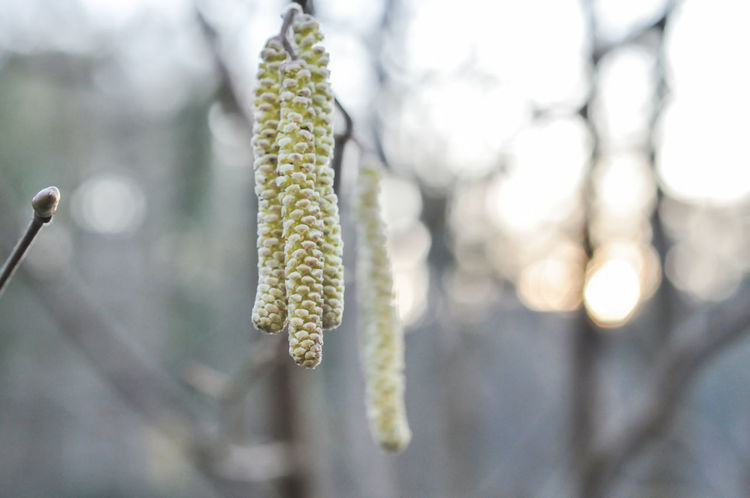 Ich starte einen neuen Versuch , dem Frühling etwas auf die Sprünge zu helfen 😊 Tree Hanging Close-up Frühling Haselnüsse Springtime Spring Is Coming  EyeEm Best Shots GERMANY🇩🇪DEUTSCHERLAND@ EyeEm Germany Germany Photos Official EyeEm © The Week On EyeEem Frühligsbote