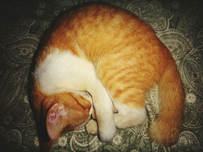 Orange roll meow Cat Orange Color Curled Up Sleeping Cat Indoors  Sleeping One Animal Pets Animal Themes Domestic Animals Lying Down Bed Mammal Close-up No People Day