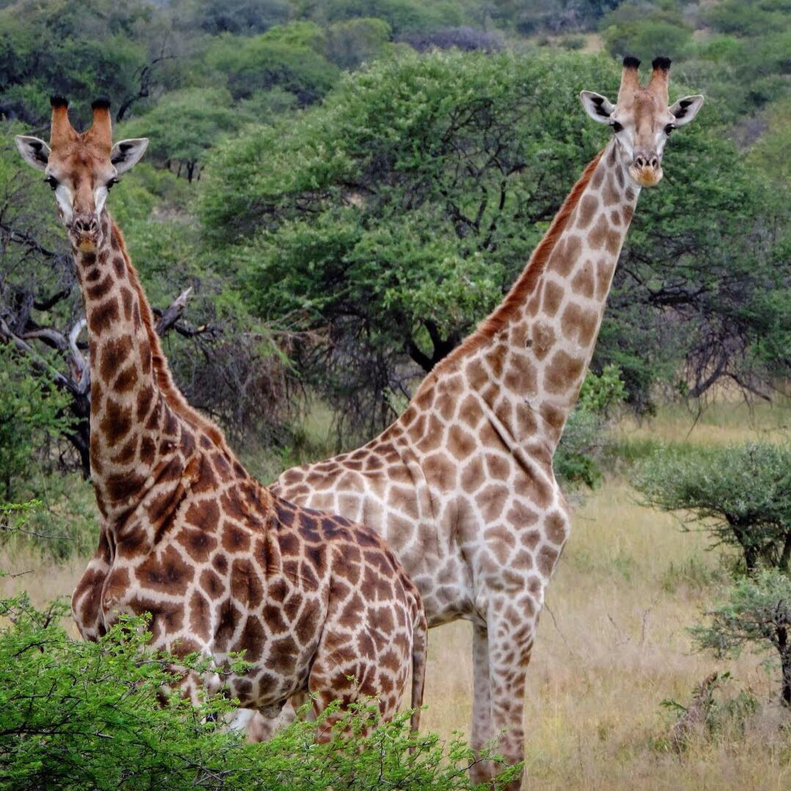 animal themes, animal, animal wildlife, animals in the wild, mammal, safari, giraffe, nature, plant, group of animals, no people, grass, standing, day, two animals, vertebrate, tree, portrait, natural pattern, outdoors, animal neck, herbivorous, animal family