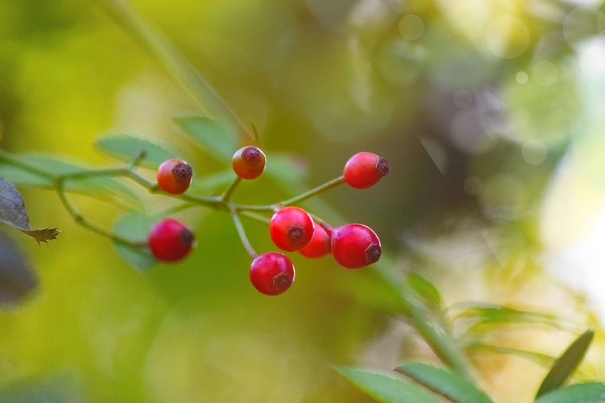 Fruit Food Healthy Eating Food And Drink Red Plant Freshness Beauty In Nature Green Color Wellbeing Plant Part No People Leaf Day Focus On Foreground Tree Nature Growth Close-up Berry Fruit