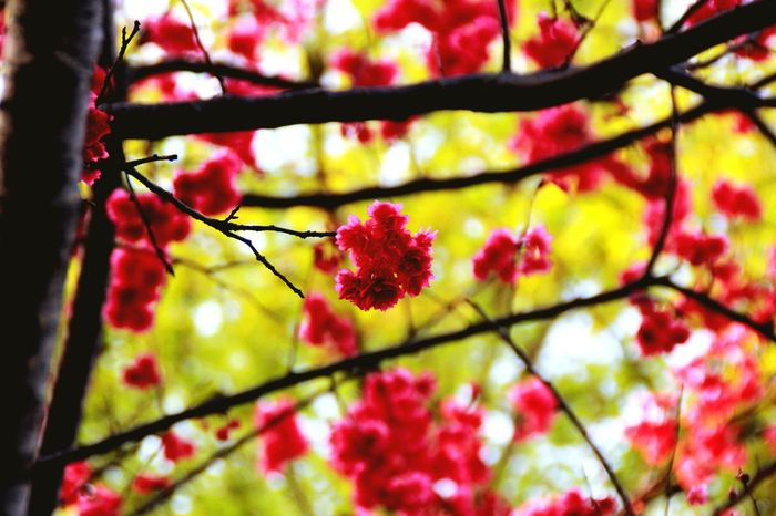 Cherry Blossoms Flower Tree Outdoors Plum Blossom Many Flowers Beautiful View Pink Color Beauty In Nature Plant