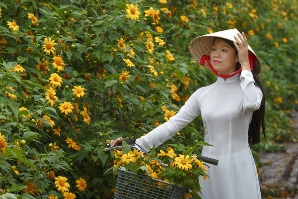 Bao Loc, Lam Dong Province, Vietnam - November 5, 2016 : Young girl walking on path of countryside between the bushes of wild sunflower bloom in yellow, colorful scene Amazing Asian  Baoloc Beautiful Bicycle Bike Blossoms  Bush Charm Colorfull Conical Hat Countryside Editorial  Farm Florwers Girl Green Illustrative Lanscape Road Rural Sunflower Village Walk Winter