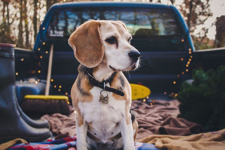 Beagle looking away while sitting in pick-up truck