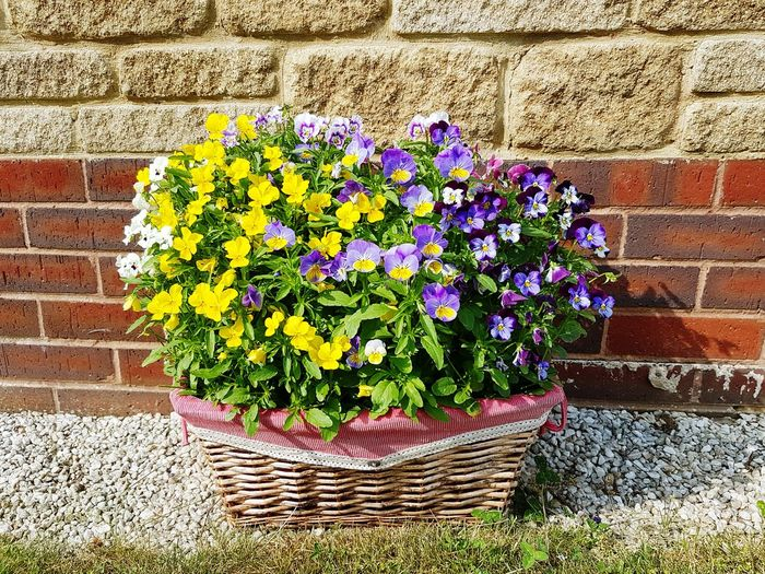 Recycled Hamper basket Flower Growth Plant Fragility Nature Beauty In Nature Freshness No People Outdoors Day Petal Sunlight Yellow Flower Head Hamper Basket Recycled Recycling Reused Reused Materials Wicker Basket Wicker Violas Viola Flowers Pretty