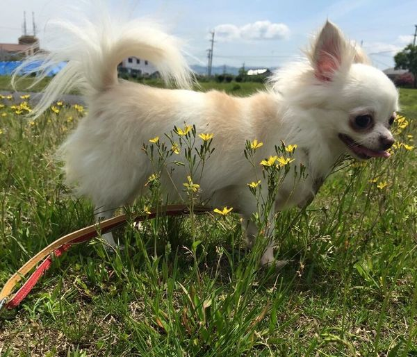 Bianca ❤️ Babydog Everything In Its Place Dogs Of EyeEm Dogstagram Chihuahualovers GirlDog Chihuahua Grass Field