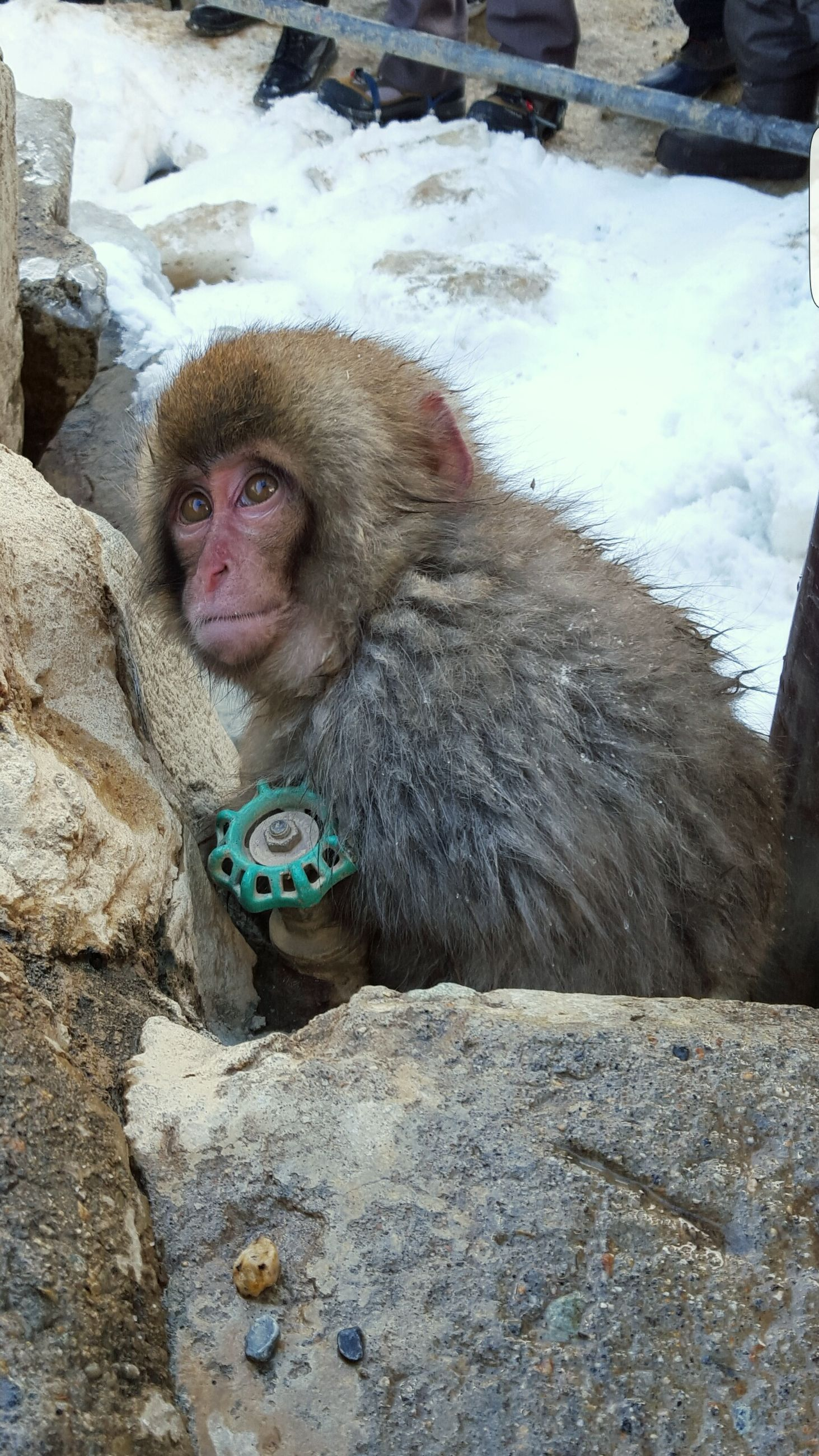 animal themes, one animal, mammal, no people, day, outdoors, close-up, monkey, pets