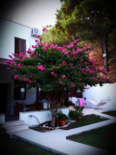 Pink flowering plants outside house in yard