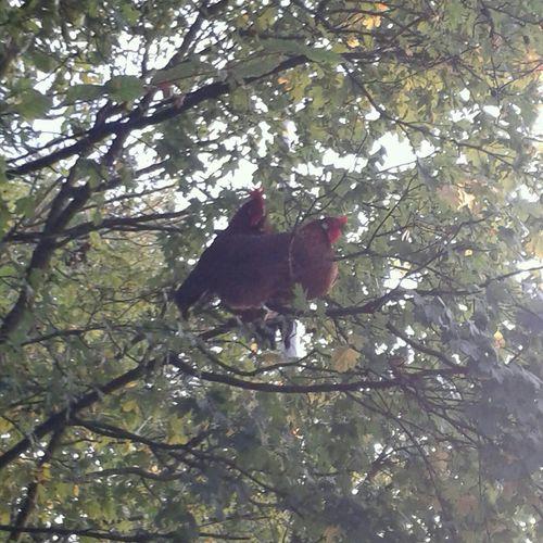 Diese Hühner wollen hoch hinaus...