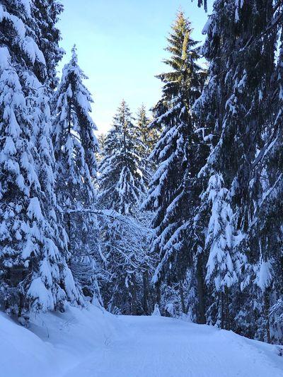 Fairy Winter Forest in Snow Winter Tree Snow Winter Plant Cold Temperature Scenics - Nature Beauty In Nature Forest Nature Tranquil Scene Tranquility Sky Frozen Day Coniferous Tree No People