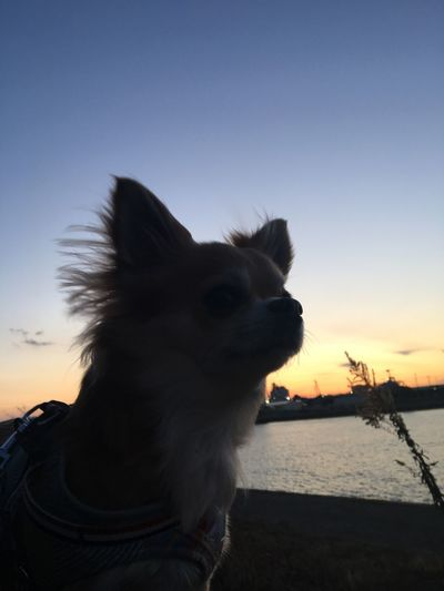 Family Chihuahua Niko Sunset Sky Animal Themes Domestic Animals Mammal Pets One Animal