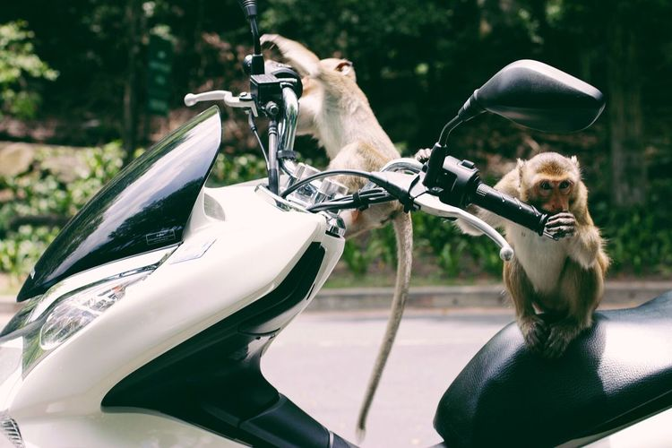 Two monkeys on a white motorcycle