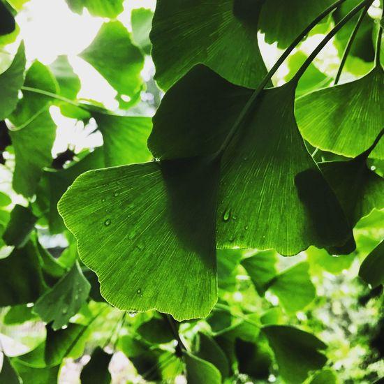 Botanical Gardens Gingko Tree