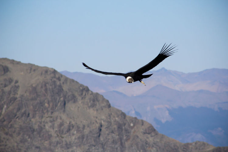 Aves Beauty In Nature Birds Blue Condors Cóndor  Day Flying Focus On Foreground Freebird Freedom Landscape Mid-air Mountain Mountain Range Nature No People Non-urban Scene Outdoors Scenics Sky Spread Wings Tranquil Scene Tranquility