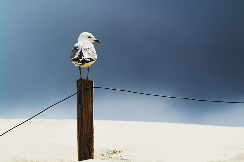 Low Angle View Of Seagull Perching On Wooden Post At Beach