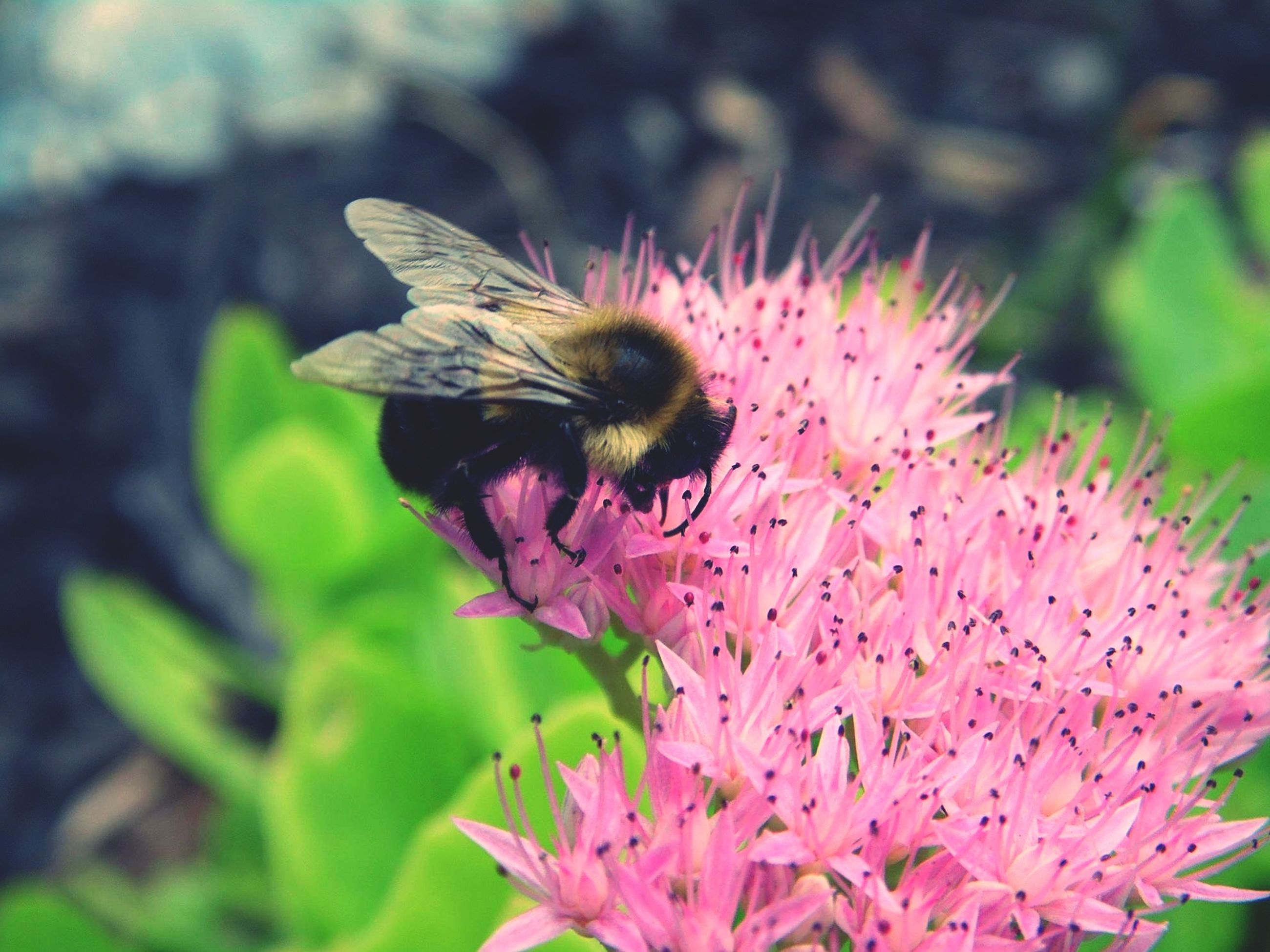 flower, freshness, petal, one animal, fragility, insect, animal themes, flower head, animals in the wild, pink color, growth, wildlife, beauty in nature, pollination, focus on foreground, close-up, nature, bee, blooming, plant