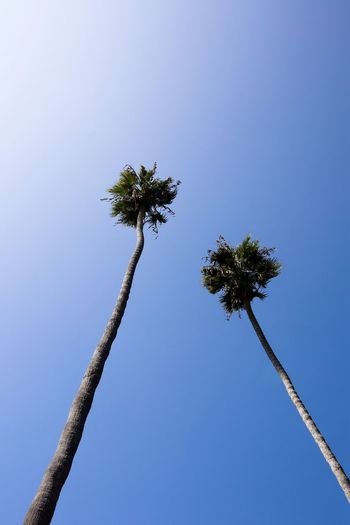 low angle view of Palm trees on blue sky background Plant Sky Tree Palm Tree Low Angle View Tropical Climate Clear Sky Blue Tree Trunk Nature Trunk No People Tall - High Growth Day Outdoors Beauty In Nature Tropical Tree Tranquility Directly Below Palm Leaf Paradise Blue Sky