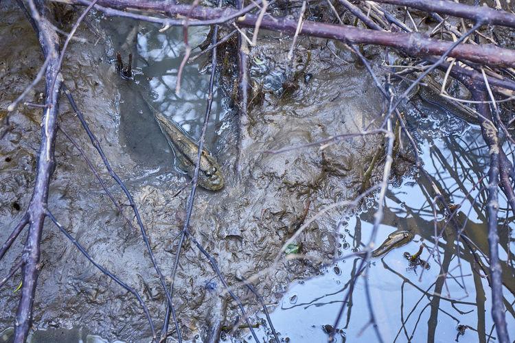 Mudskipper hide