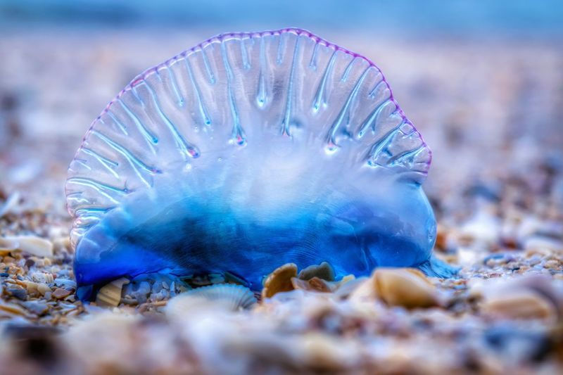 Portuguese Man O' War Venomous Blue Bottle EyeEm Nature Lover Sea Life EyeEm Best Shots - Nature Macro Invasion Macroclique Macro EyeEm Best Shots EyeEm Best Edits Eye4photography  Depth Of Field Getting Inspired Appreciate The Little Things In Life From My Point Of View Life Is A Beach Color Explosion Perspective Attention To Detail EyeEm Gallery