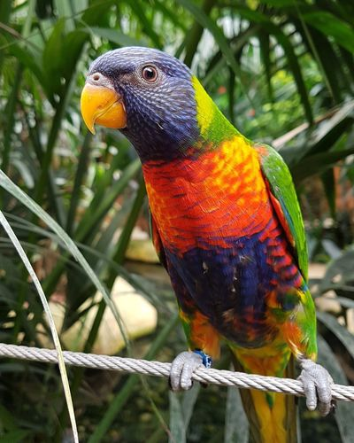 Multi Colored Animal Wildlife Parrot Nature Close-up Perching