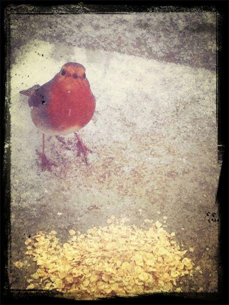 Starving robin
