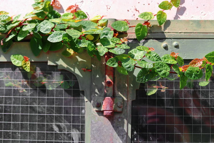 Close-up of ivy growing on wall of building