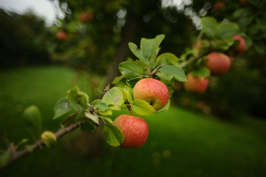 Apple Tree, Schleswig-Holstein, September 12, 2018. Foto (c) 2018 Kay-Christian Heine Gardening Schleswig-Holstein Apple Tree Beauty In Nature Close-up Cottage Garden  Country Life Day Focus On Foreground Food Food And Drink Freshness Fruit Fruit Tree Green Color Growth Healthy Eating Leaf Nature No People Outdoors Plant Ripe Tree Wellbeing