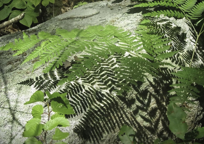 Dog Town Gloucester MA Rock Beauty In Nature Close-up Day Fern Green Color Growth Leaf Nature No People Outdoors Plant Plant Shadow Shadow Woods