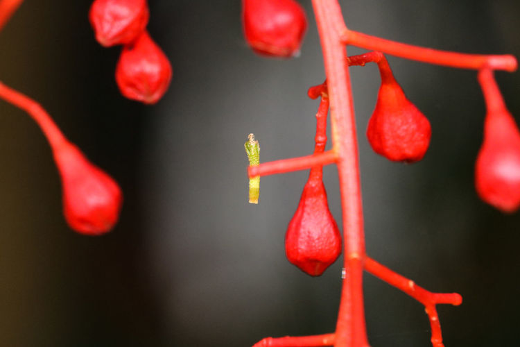 Beauty In Nature Close-up Crimson Day Flametree Fragility Freshness Garden Green Color Growth Growth Nature No People Outdoors Plant Pods Red Rowanberry Scarlett